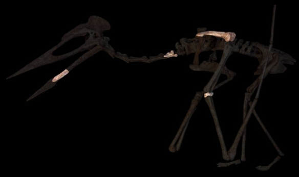 Figure 1. Highly speculative reconstruction of large azhdarchid from Romania, nicknamed 'Dracula' based on the few bones shown here.