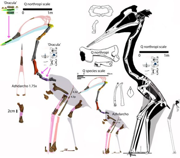 Figure 2. 'Dracula' elements match those from the much smaller Azhdarcho, here enlarged to the scale of Quetzalcoatlus northropi and Q sp.