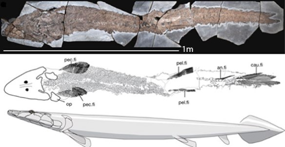 Figure 1. Elpistostege from Cloutier et al. 2020 in situ, traced and reconstructed.