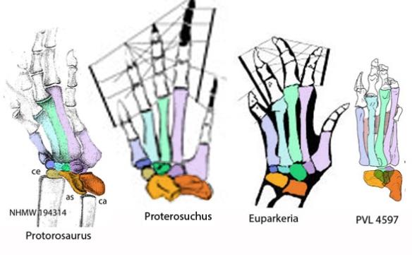 Figure 8. Archosauriform pedes compared to Protorosaurus.