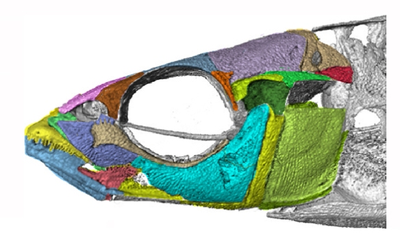 Figure 2. Skull of the stickleback, Gasterosteus, with bones colored here. Compared to figure 1.