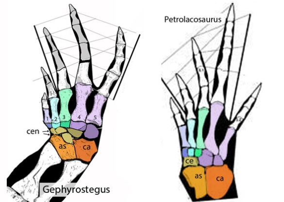 Figure 1. Gephyrostegus, a reptile outgroup, compared to Petrolacosaurus, a Late Carboniferous archosauromorph basal to archosauriforms and archosaurs.