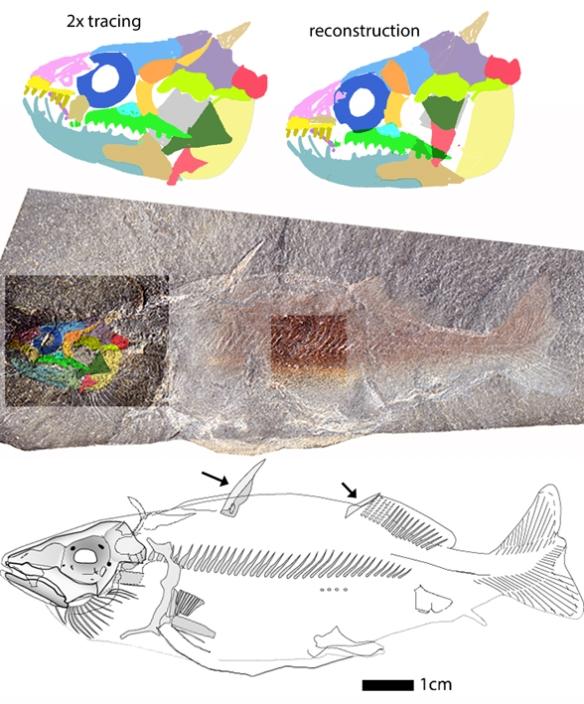 Figure 1. Tiny Gregorius rexi nests basal to moray and gulper eels and also basal to all bony fish in the LRT.