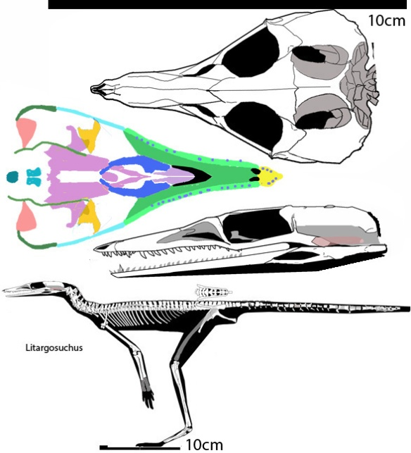 Figure 2. Litargosuchus with skull enlarged in 3 views. The Yonghesuchus skull is slightly larger than this one.