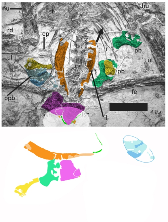 Figure 8. Pelvic area of Luchibang from Hone et al. 2020 with elements, including the overlooked tiny tail (green in ghosted oval) colorized. A possible egg is indicated here (blue).