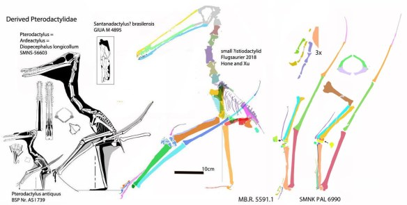 Figure 3. Luchibang, Pterodactylus longicollum and the two new Solnhofen wings to scale.
