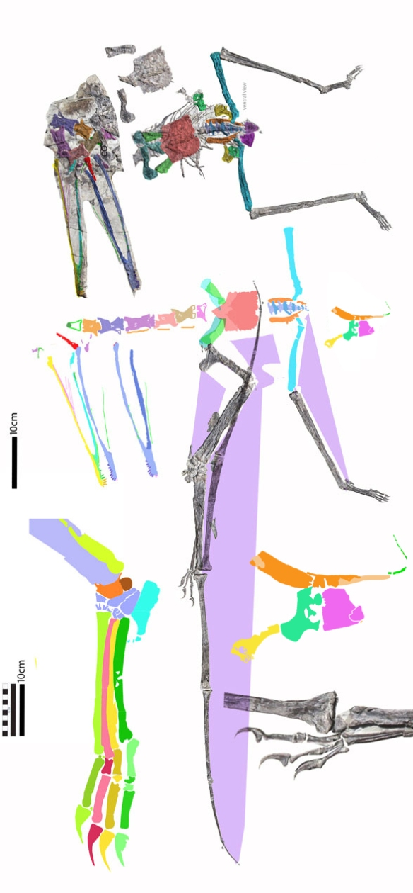 Figure 3. New tracings from Hone et al. 2020 of Luchibang (spelled Luichibang in the caption). Valid istiodactylids (see below) have much larger wings, much shorter metacarpals, much shorter necks and much smaller feet.