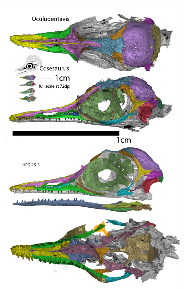 Figure 2. CT scans of Oculudentavis from Xing et al. 2020 and colored here, plus a comparison of Cosesaurus to scale.