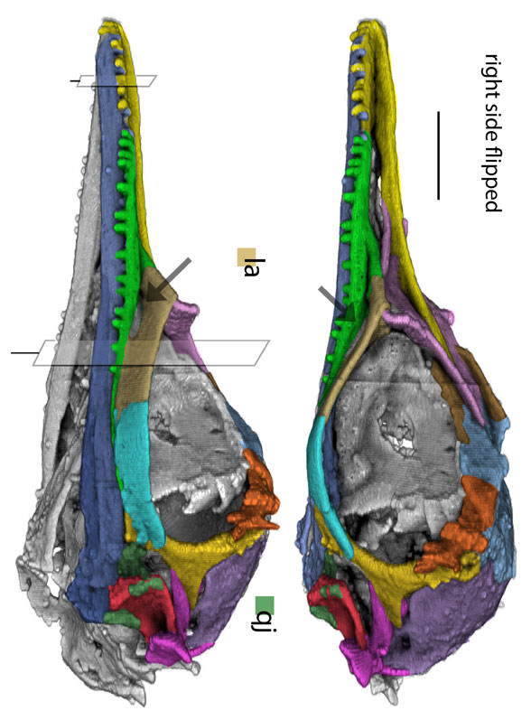 FIgure 1. CT scan model from Li et al. 2020, who denied the presence of a quadratojugal and an antorbital fenestra, both of which are present. Colors applied here.