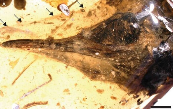 Figure 1. Oculudentavis in amber much enlarged. See figure 2 for actual size.
