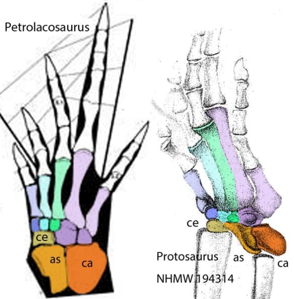 Figure 2. Petrolacosaurus and Protorosaurus pedes to establish homologies.