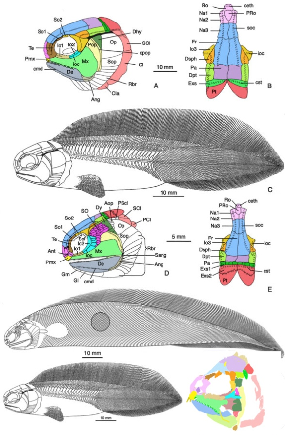 Figure 2. Diagram of Tarrasius reconstructions from Sallan 2012, colorized here with the addition of the DGS tracing at lower right.