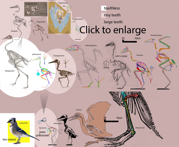 Figure 1. Click to enlarge. Toothed birds of the Cretaceous to scale.