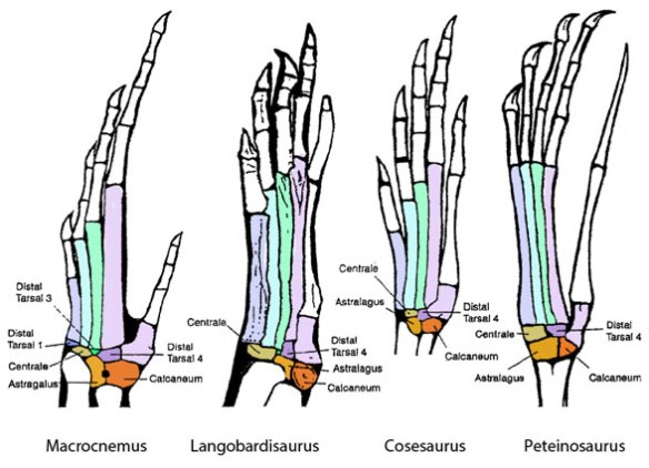 Figure 3. Tritosaur lepidosaur tarsals. Note how the centrale moves distally to replace distal tarsal 1 and 2.