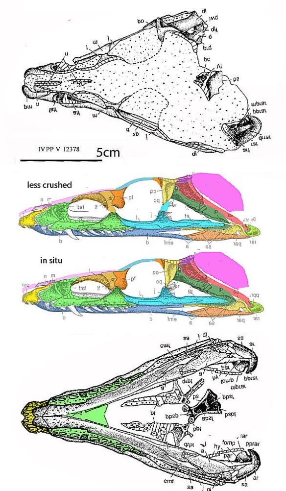 Figure 1. The skull of Yonghesuchus now compares well with that of Litargosuchus (figure 2).