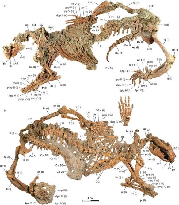 Figure 2. From Krause et al. 2020, Adalatherium in situ sans matrix.