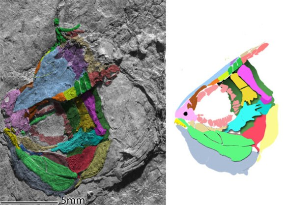 Figure 2. Annaichthys skull in situ and reconstructed.