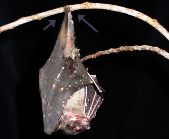 Figure 5. Balionycteris hanging from both sides of a slender branch by laterally-twisted feet.