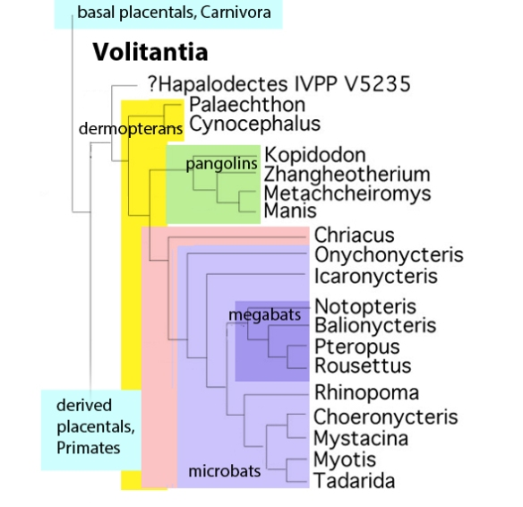 Figure 1. Subset of the LRT focusing on the resurrected clade Volitantia, including dermopterans, pangolins, bats and their extinct kin.