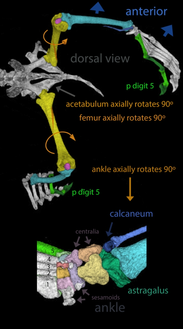 Figure 1. Hind limbs and closeup of ankle of Cynopterus, an extant micro bat, from Digimorph.org. Colors and diagram elements added here.