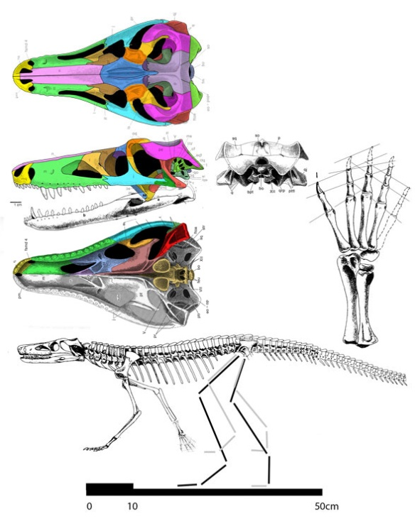 Figure 2. Images from Wu et al. 1993, colors and hind limbs added. Compare to skull in figure 1.