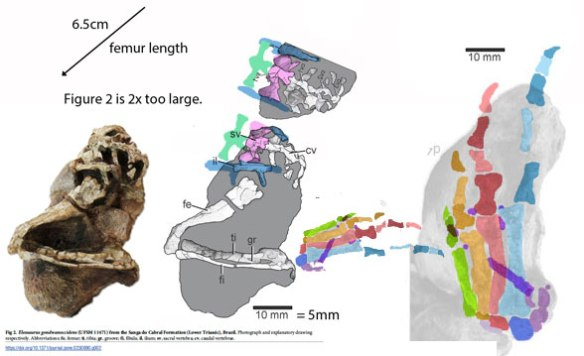 Figure 2. Elessaurus hind limb elements gathered together to scale. Some original scale bars were off by 2x.