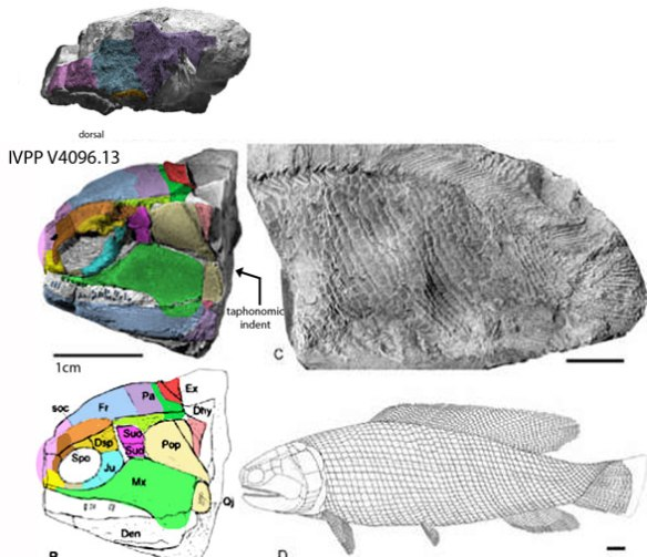 Figure 1. Middle Triassic Fukangicthys from Su 1978, Xu et al. 2014; Giles et al. 2018) is not a basal fish taxon in the LRT.