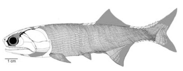 Figure 1. Gogosardina from Choo, Long and Trinajstic 2009 shown at full size if shown on a typical 72dpi computer monitor.