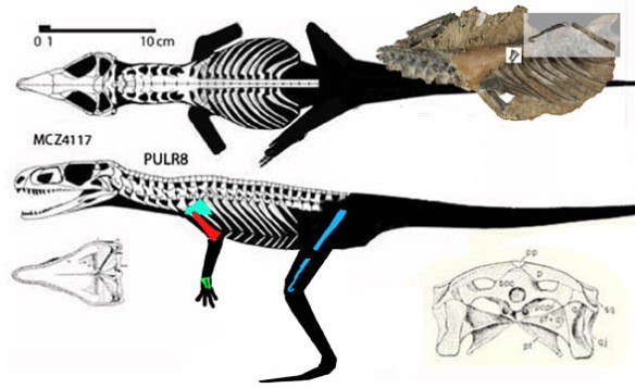 Figure 4. Present reconstruction of Gracilisuchus with skull based on Romer 1971. See figure 4 for an updated on that skull.