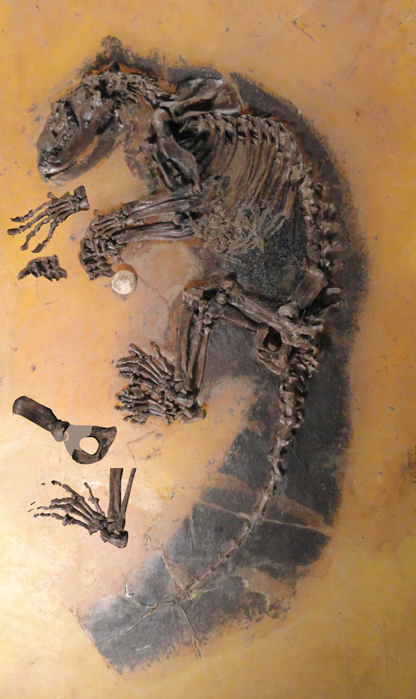 Figure 1. One of five complete skeletons of Kopiodon known from the middle Eocene Messel pits. A hand, foot and pelvis are layered to extend the fingers and toes for scoring.