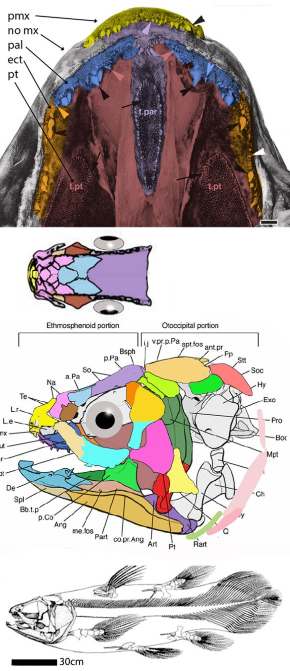 Figure 3. Latimeria updated. Note the fusion of the jugal, lacrimal and toothless maxilla into one bone. Compare to Dialipina in figure 2.Figure 3. Latimeria updated. Note the fusion of the jugal, lacrimal and toothless maxilla into one bone. Compare to Dialipina in figure 2.
