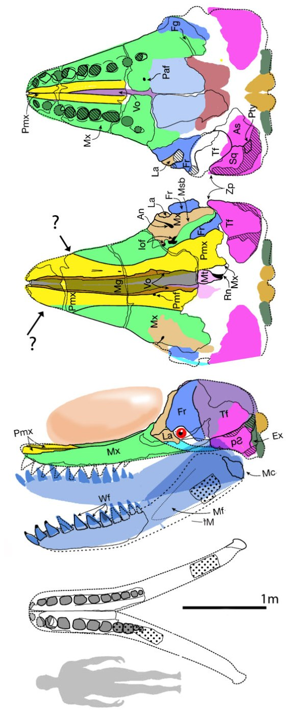 Figure 1. Leviathan diagram from Lambert et al. 2010 and colored here.