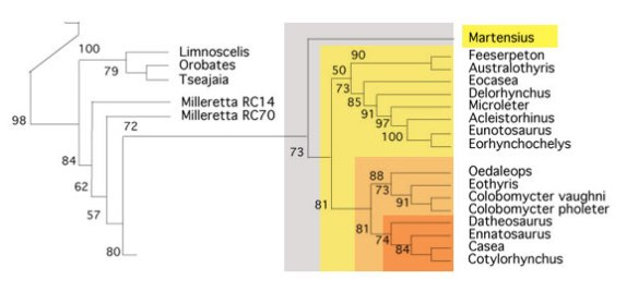 Figure 3. Subset of the LRT with Martensius added to the base of the Caseasauria + another clade of similar lepidosaurs, all derived from Milleretta.