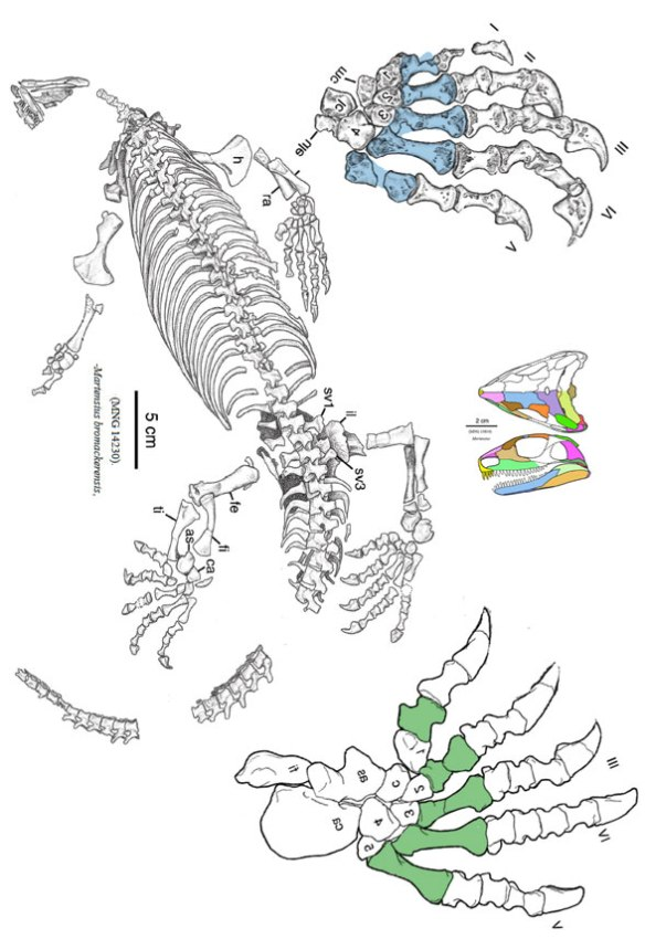 Figure 2. The juvenile specimen of Martensius.