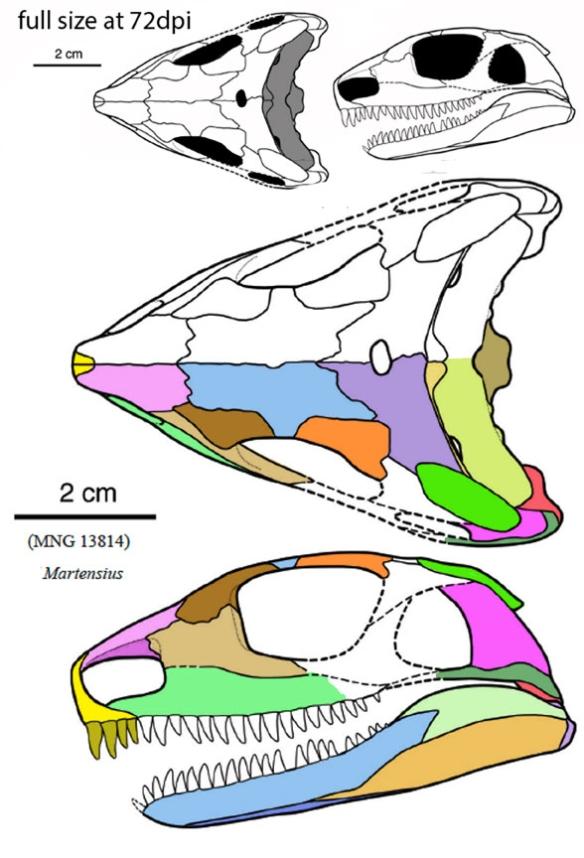 Figure 1. Ffrom Berman et al. 2020, skull of Martensius in two views, plus full scale.