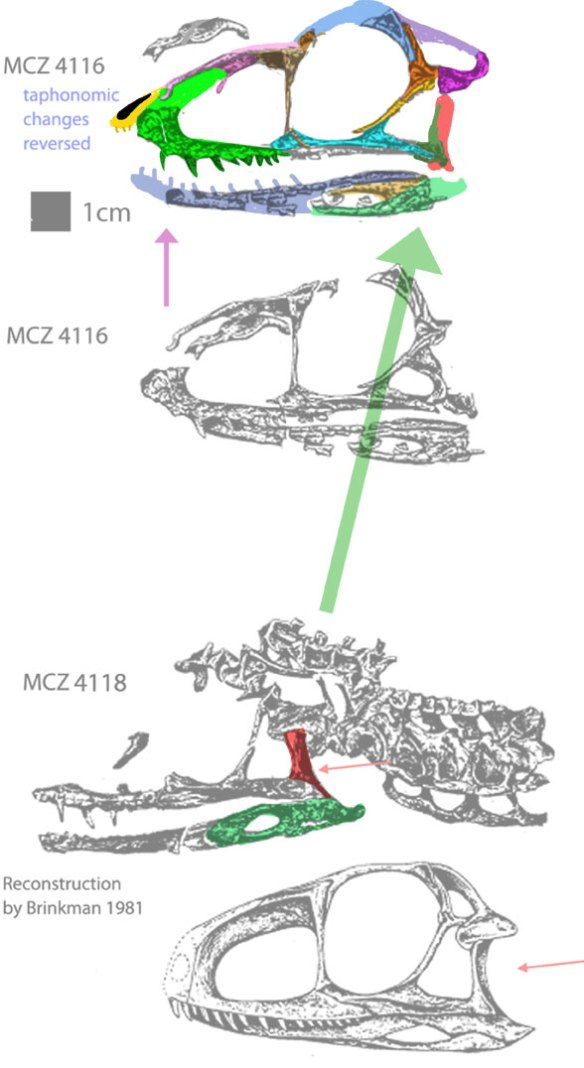 Figure 1. The former Gracilisuchus specimens MCZ4116 and MCZ4118 with colors added.