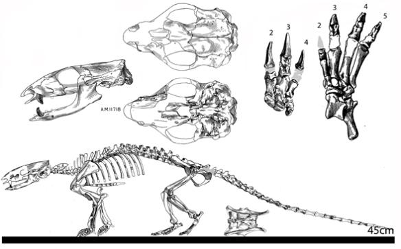 Figure 2. Pangolin ancestor Metacheiromys skeleton and skull.