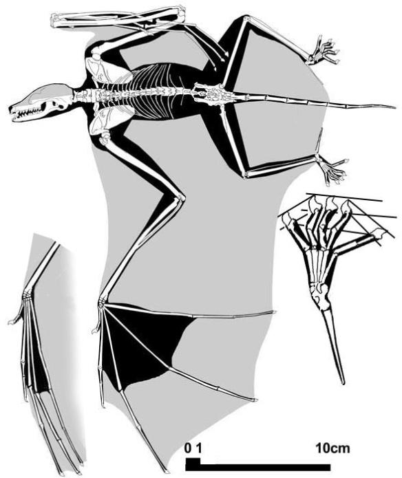 Figure 3. The basal bat, Onychonycteris.