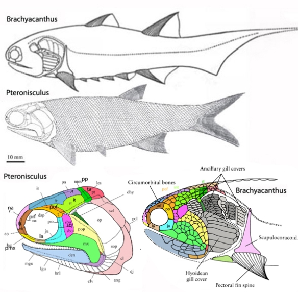 Figure 2. Pteronisculus nests with Fukangichthys in the LRT apart from Polypterus.