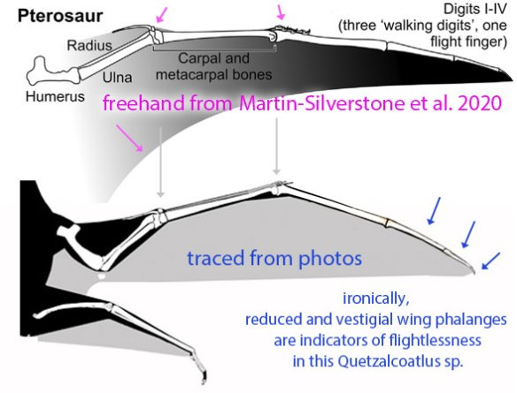 Figure 1. Above: freehand image from Martin-Silverstone 2020 of Quetzalcoatlus northropi wing. Pink arrows call out errors. Below: Traced image of Q. sp. wing.