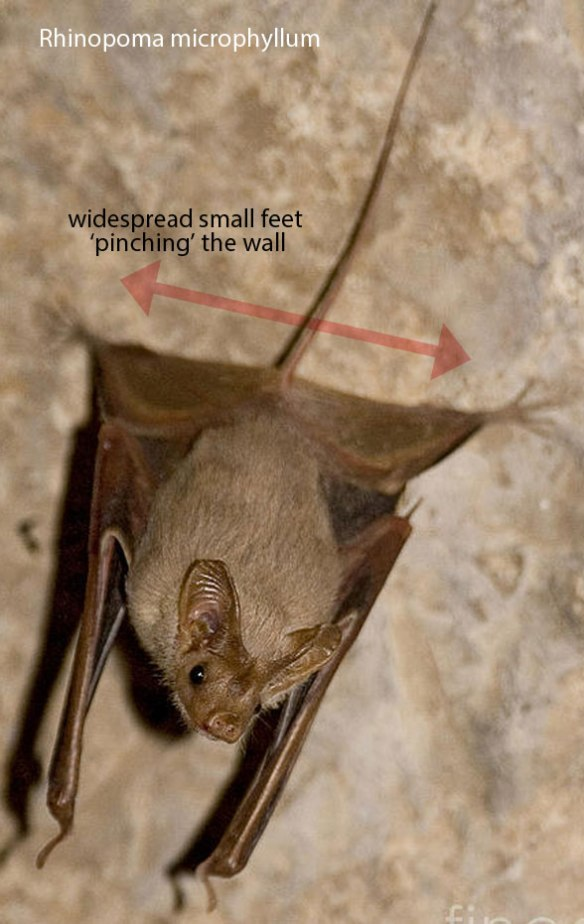 Figure 3. Rhinopoma is the most primitive extant micro bat in the LRT. Note the long tail, long legs and small feet, all Chriacus-like and Onychonycteris-like primitive traits.