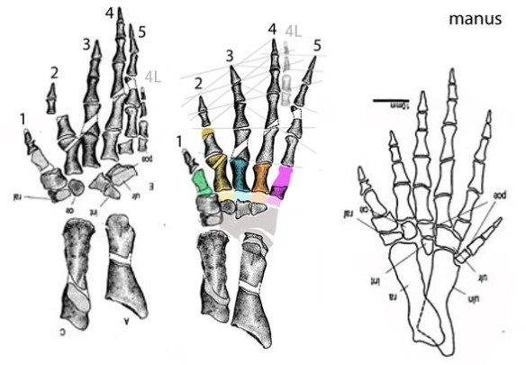 Figure 1. Tulerpeton manus with digit 6 re-identified as the top of digit 4 from the other hand.