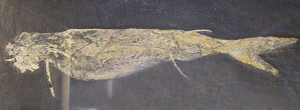 Figure 2. Acanthodes in situ.