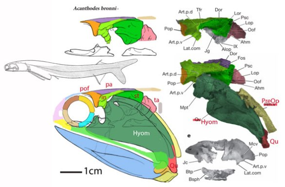Figure 1. Acanthodes skull with elements restored.