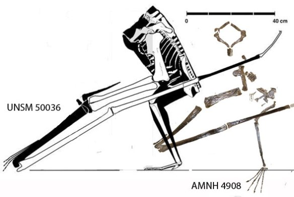 Figure 6. AMNH 4908 specimen compared to a large Pteranodon specimen UNSM 50036.