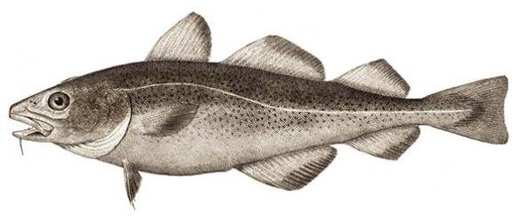 Figure 5. Atlantic cod, Gadus morhua, in lateral view.