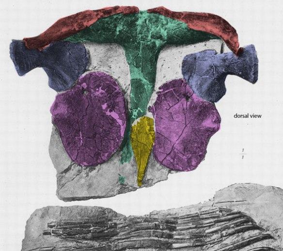 Figure 7. Champsosaurus sternum (yellow).
