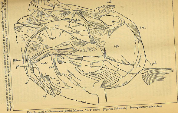 Figure 1a. Chondrosteus in situ drawing from Egerton. This was difficult to understand a year ago.