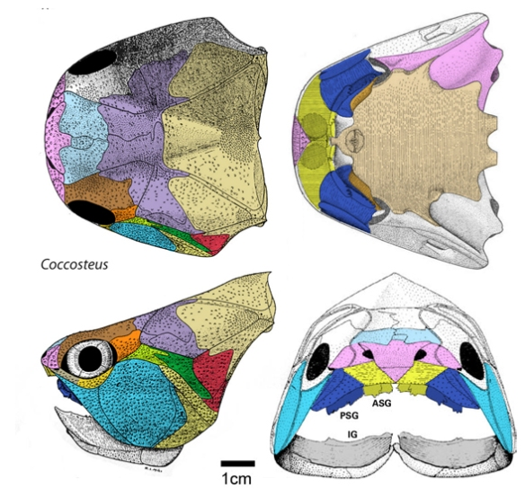 Figure 3. Coccosteus is a placoderm that shares more traits with Kenichthys than any tested sarcopterygian.