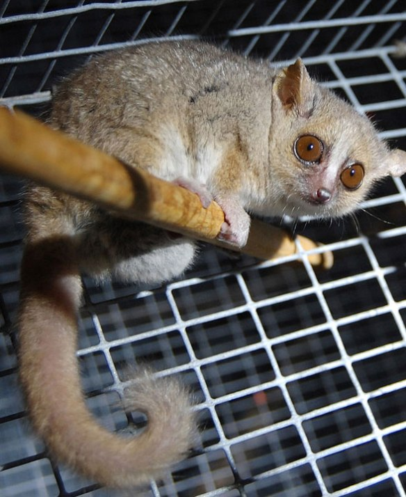 Figure 1. The gray mouse lemur (Microcebus murinus) nests basal to primates in the LRT.